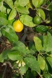 Frutas del árbol de limón Fotos de archivo