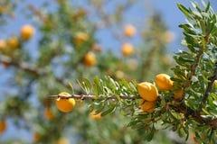 Frutas del árbol del Argan Imagen de archivo libre de regalías