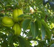 Frutas del árbol del foetida del Sterculia Imágenes de archivo libres de regalías