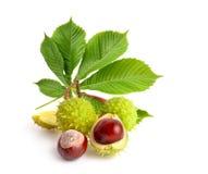 Frutas del Aesculus de la castaña de Indias f con los leawes fotografía de archivo libre de regalías