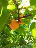 Frutas del albaricoque Fotos de archivo