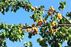 Frutas del albaricoque en la luz del sol Fotografía de archivo
