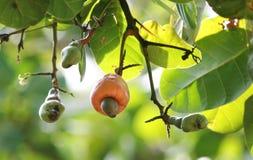 Frutas del anacardo imagen de archivo libre de regalías