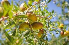 Frutas del Argan en árbol Imágenes de archivo libres de regalías
