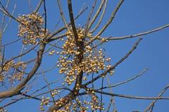 Frutas del azedarach del Melia Foto de archivo libre de regalías