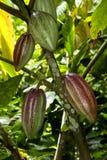 Frutas del cacao Imágenes de archivo libres de regalías