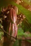 Frutas del cacao en árbol Foto de archivo