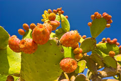 Frutas del cacto Imagen de archivo libre de regalías