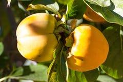 Frutas del caqui de los pares en jardín Pares maduros, anaranjados en árbol Fotos de archivo libres de regalías
