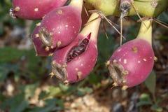 Frutas del cierre espinoso del cactus de la Opuntia encima del papel pintado fotografía de archivo libre de regalías