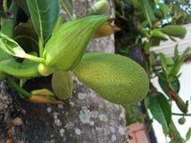 frutas del enchufe en rama Fotografía de archivo