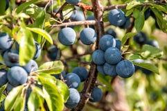 Frutas del endrino Foto de archivo