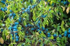 Frutas del endrino Fotografía de archivo libre de regalías