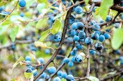 Frutas del endrino Fotos de archivo
