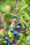 Frutas del endrino Fotos de archivo libres de regalías