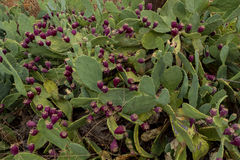 Frutas del higo chumbo del cactus Fotos de archivo