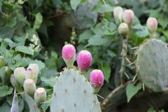 Frutas del higo chumbo en el cactus fotografía de archivo