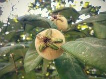Frutas del membrillo Imágenes de archivo libres de regalías