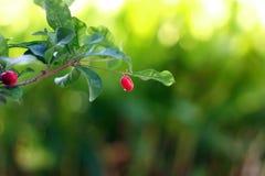 Frutas del milagro Foto de archivo libre de regalías