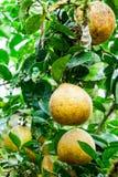 Frutas del pomelo Imágenes de archivo libres de regalías
