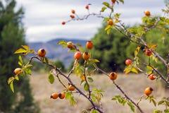 Frutas del primer salvaje de los escaramujos Foto de archivo libre de regalías