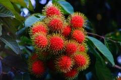 Frutas del Rambutan Fotografía de archivo