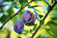Frutas del árbol de ciruelo Imagen de archivo libre de regalías