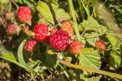 Frutas del ursinus del Rubus de la zarzamora de California, California fotos de archivo libres de regalías