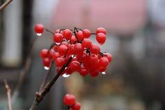 Frutas del Viburnum Imagen de archivo libre de regalías