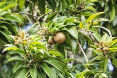 Frutas del zapote Imágenes de archivo libres de regalías