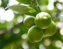 Frutas do cal fotos de stock royalty free