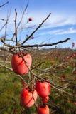 Frutas do caqui em árvores no campo do outono Fotografia de Stock Royalty Free