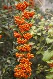 Frutas do coccinea do pyracantha Imagens de Stock