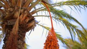Frutas en la palma datilera almacen de metraje de vídeo