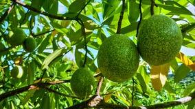 Frutas en un árbol Foto de archivo