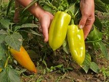 Frutas femeninas de la paprika del control de las manos Fotos de archivo