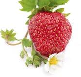 Frutas frescas da morango com flor Imagem de Stock Royalty Free
