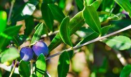 Frutas frescas de olivos en último otoño imágenes de archivo libres de regalías
