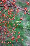 Frutas frescas del briar Fotos de archivo
