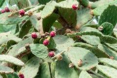 Frutas hermosas del cactus Ciérrese para arriba del backgro blanco de las espinas dorsales del cactus imágenes de archivo libres de regalías