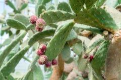Frutas hermosas del cactus Ciérrese para arriba del backgro blanco de las espinas dorsales del cactus fotografía de archivo