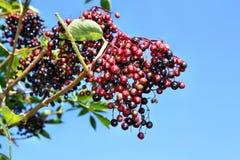 Frutas inmaduras de la baya del saúco Imagen de archivo libre de regalías