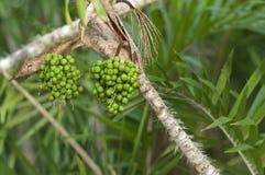 Frutas inmaduras de la palmera de Astrcaryum Fotografía de archivo libre de regalías