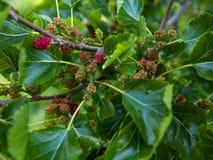 Frutas jovenes de alba del Morus de la mora blanca atadas a las ramas foto de archivo