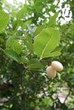Frutas jovenes del carunda Foto de archivo libre de regalías