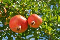 Frutas maduras de la granada en el árbol Foto de archivo