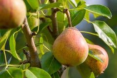 Frutas maduras de la pera Imagen de archivo libre de regalías