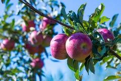 Frutas maduras de manzanas rojas en las ramas de los manzanos jovenes fotografía de archivo libre de regalías