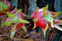 Frutas maduras del dragón en Vietnam imagenes de archivo