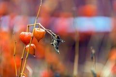 Frutas maduras del ordinario del physalis con las tazas del rojo anaranjado en la a Fotografía de archivo